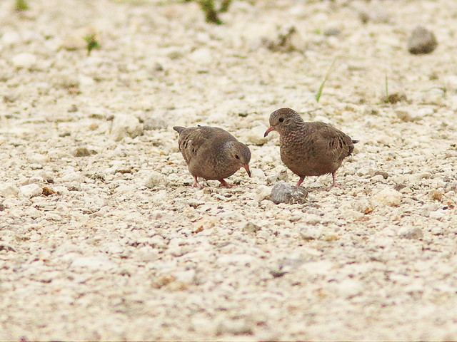 Common Ground-Doves 20130804