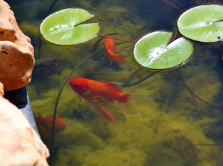 Life%20in%20the%20Koi%20Pond-26