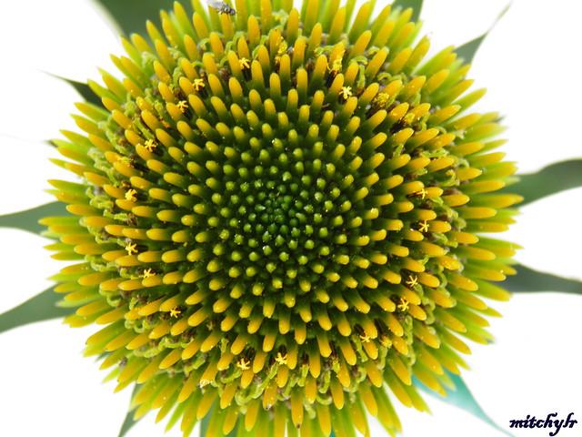 Yellow Swirl - Echinacea 1