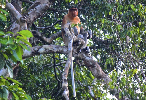proboscis monkey in a medatative position