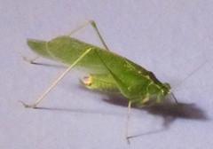 mantis(0.0), arthropod(1.0), locust(1.0), animal(1.0), cricket(1.0), invertebrate(1.0), insect(1.0), macro photography(1.0), grasshopper(1.0), fauna(1.0),