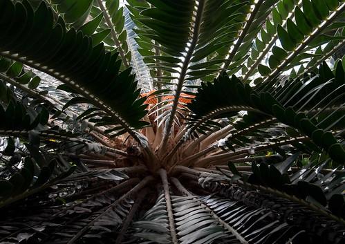 Encephalartos woodii LG 9-4-13 0303 lo-res