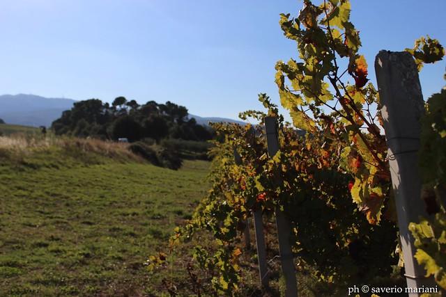 Vigne di Sagrantino.