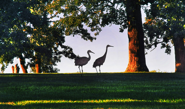Sandhill Cranes in the Epic Oak Grove