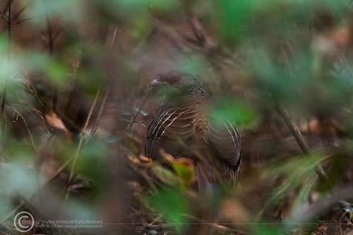 Kalij Pheasant by GHULAM RASOOL MUGHAL