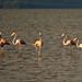 Small photo of American Flamingo | Flamenco (Phoenicopterus ruber)