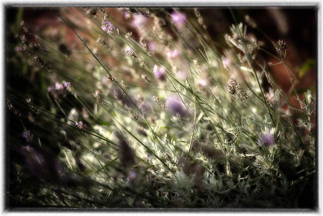 Golden Lavender  - SC Golden October