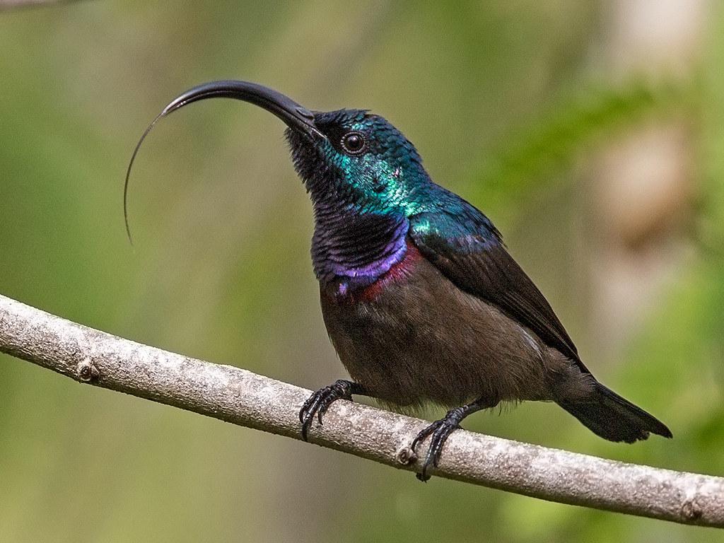 Loten's Sunbird Sri Lanka 2013