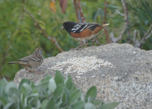 No Tail Towhee by Mike's Birds