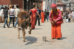 Święta  krowa w Kathmandu