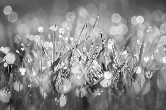 Grass, Dew, Sparkle, Bokeh, Monochrome, B&W
