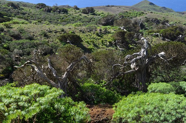 Wild Juniper (Sabine) trees of El Hierro