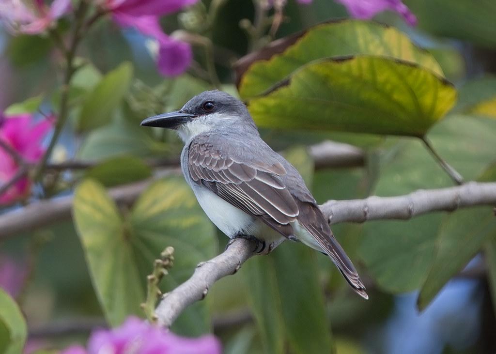 Grey Kingbird 2014-02-03