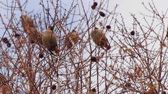 Japanese Waxwing on Metasequoia tree