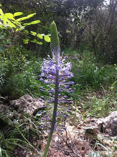 Wild Hyacinth by Ayala Moriel