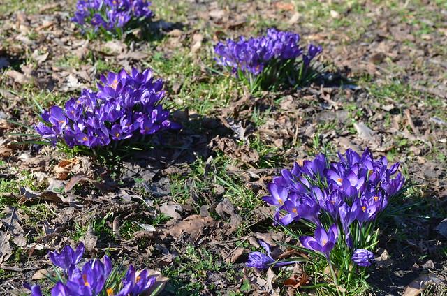 Volkspark Friedrichshain Berlin_purple flowers