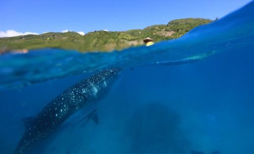菲律賓小島發展觀光與鯨鯊共游
