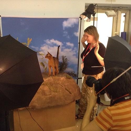 Инжир встал на путь исправления и успешно перенес фотосессию! Страховали его от побега шесть человек! #abyssinian  #выставкикошек