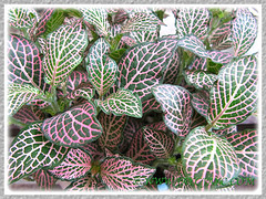 An attractive cultivar of Fittonia albivenis (F. verschaffeltii) with green, white and pink leaves, Oct 16 2013