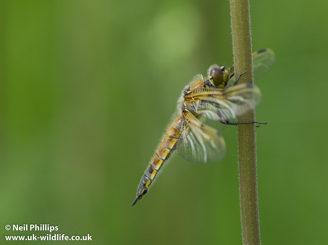 4 spotted chaser-4