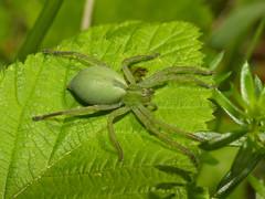 Green Huntsman Spider (Micrommata virescens) female