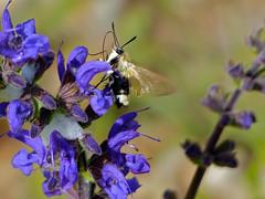 Narrow-bordered Bee Hawkmoth (Hemaris tityus) on Meadow Sage (Salvia pratensis)