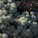 Cladonia stellaris lichen by nervous system