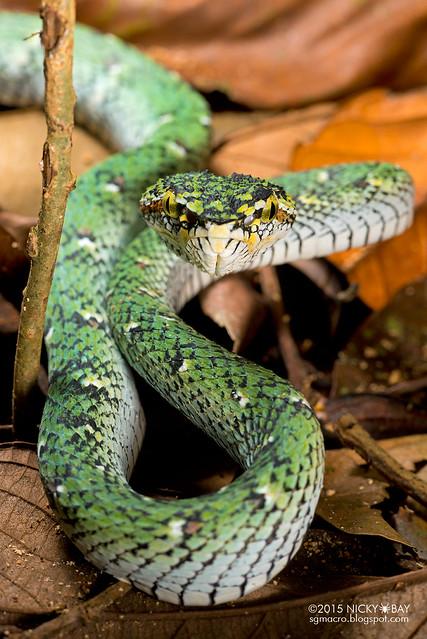 Wagler's pit viper (Tropidolaemus wagleri) - DSC_9707