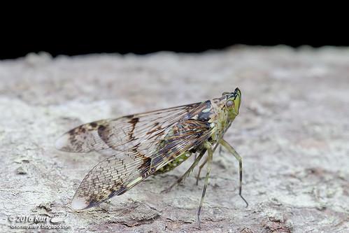 Dichoptera sp._MG_0149 copy