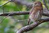 Cuban Pygmy-Owl - Glaucidium siju