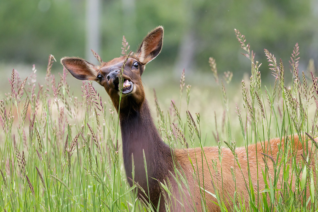 An elk cow prepares to grab a tall piece of grass with her mouth