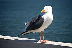 Sea Gull, Santa Cruz Pier, CA