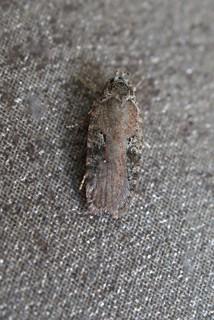 Agonopterix purpurea