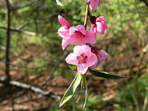 Wild cherry-blossoms