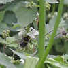 Bombus ruderatus queen - Gosberton Clough, South Lincolnshire 2013