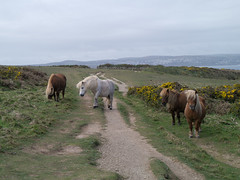 Shetland Ponies blocking the Path