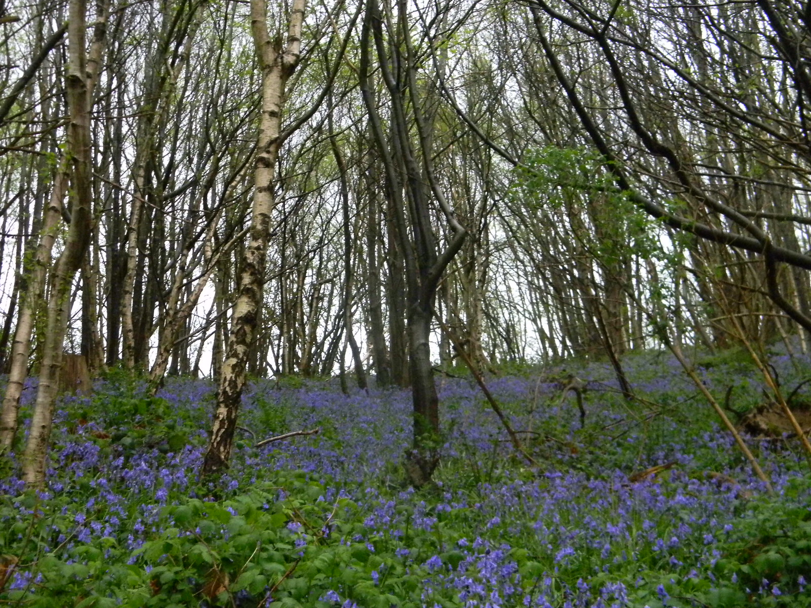 Bluebells Borough Green to Sevenoaks (composite walk)