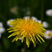 Taraxacum officinale by SilesianBromba