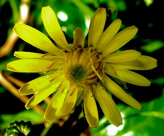 Garden 2013-05-23 - Wild Flower - Hawkweed - Hieracium umbellatum