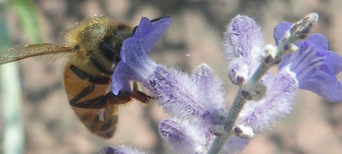 Russian sage offering a snack to a honeybee