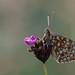 Argynnis niobe (Niobe Fritillary, duinparelmoervlinder)