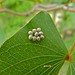 Small photo of Hatched Eggs of Mopane Worm Imbrasia belina