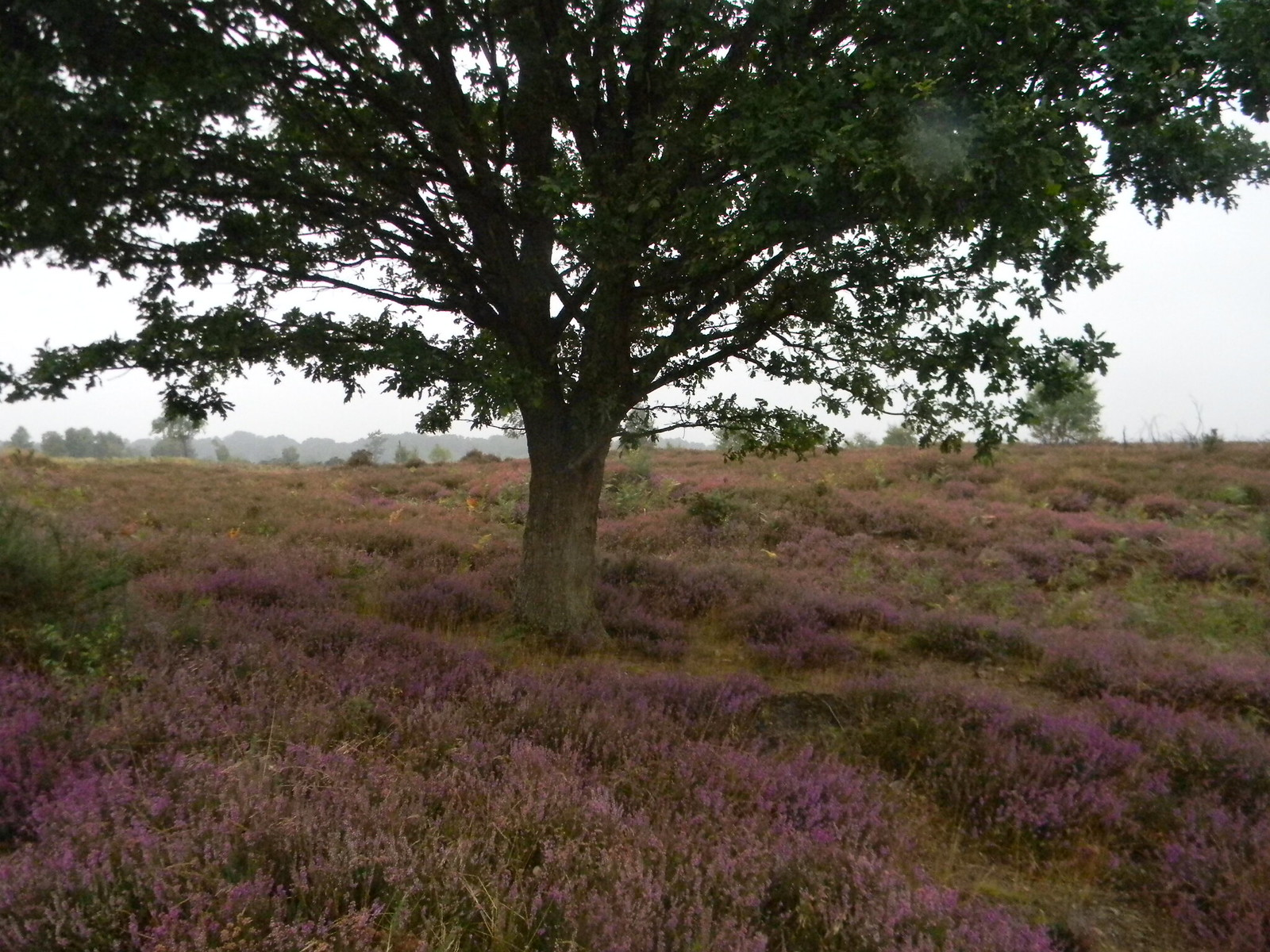 Tree and heather Thursley Common, Milford to Haslemere