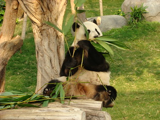 112 Reuze panda zit te eten