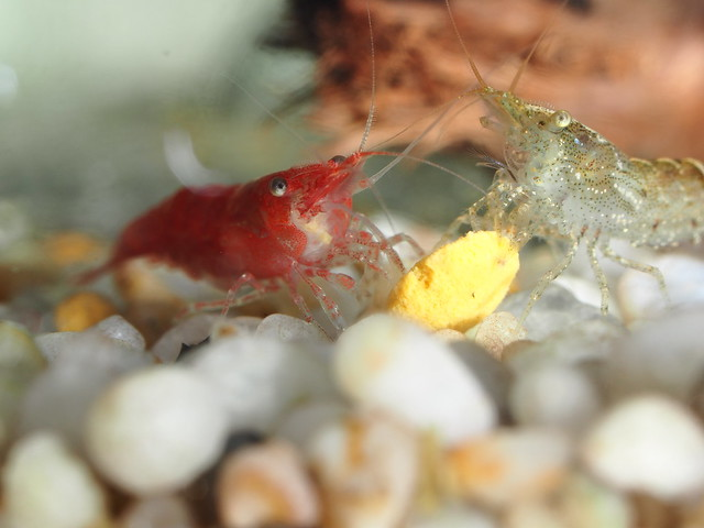 P9215703 黑殼蝦