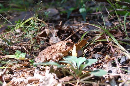 SNETT_toad