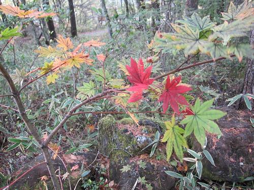 庭の小さな紅葉の葉が散らずに残っていました by Poran111