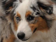 rough collie(0.0), dog breed(1.0), animal(1.0), dog(1.0), pet(1.0), scotch collie(1.0), miniature australian shepherd(1.0), australian shepherd(1.0), collie(1.0), carnivoran(1.0),