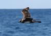 Pomarine Skua (Stercorarius pomarinus) by TG23-Birding in a Box