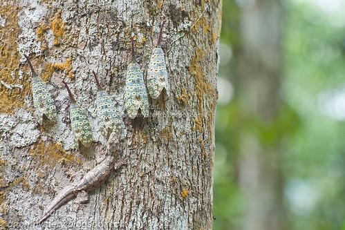 Pyrops oculata & Frilly Gecko IMG_2822 copy